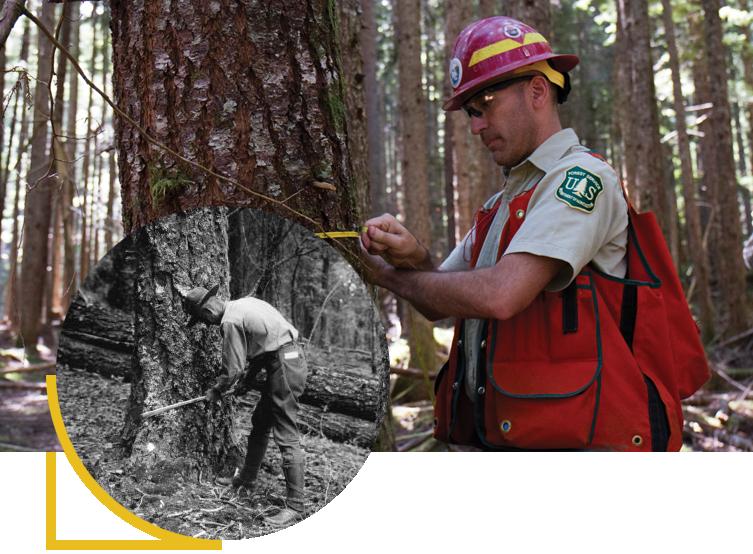 USFS measuring trees